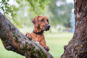 Rhodesian Ridgeback honden