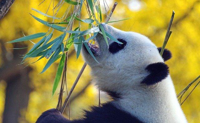 Pandafeitjes: 3 dingen die je misschien nog niet wist over de panda